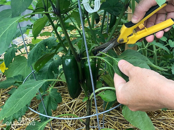 Remove extra leaves on peppers to increase sunlight reaching the fruits