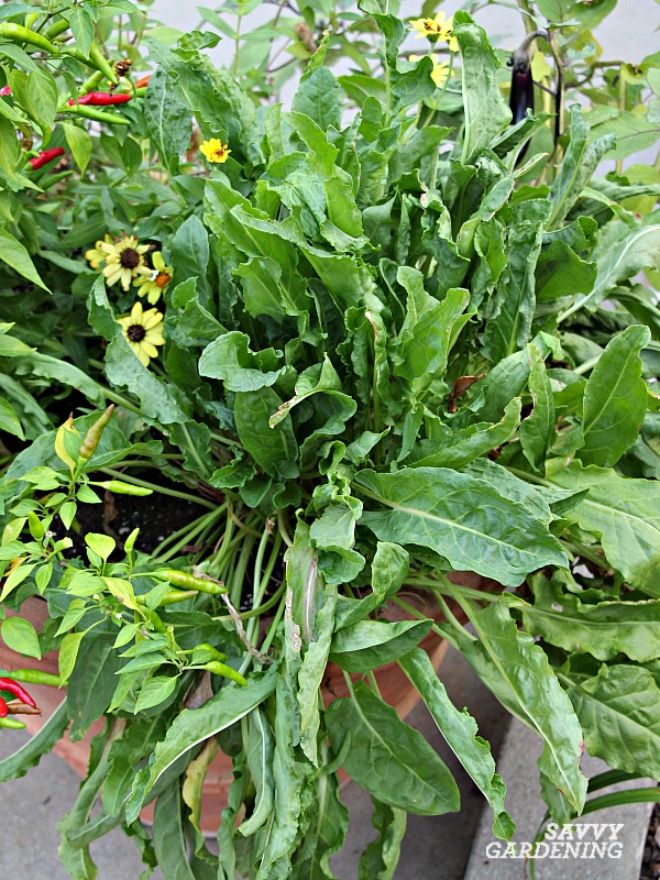 Sorrel is a hardy perennial vegetable with lemon flavored leaves