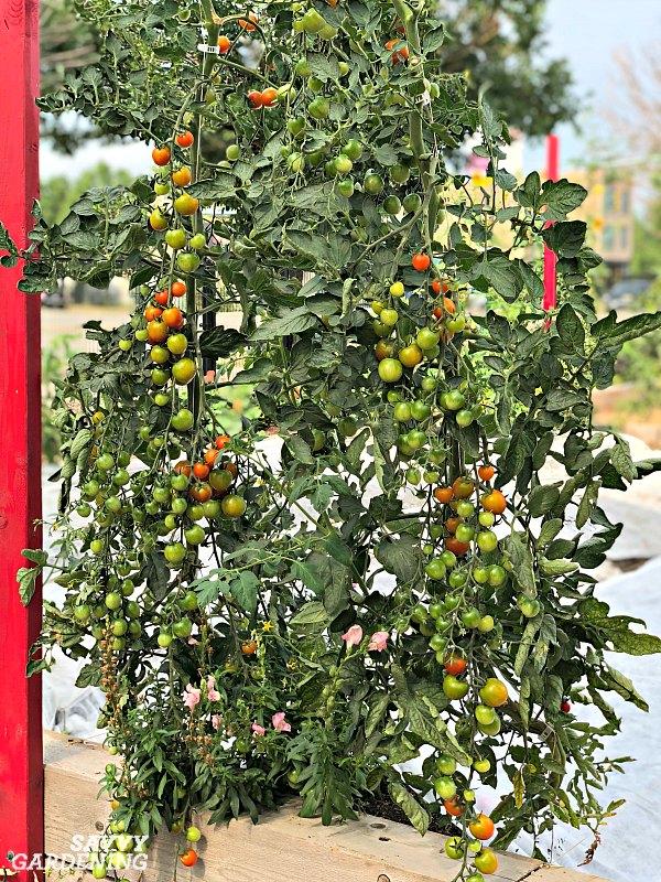 How to prune tomato suckers