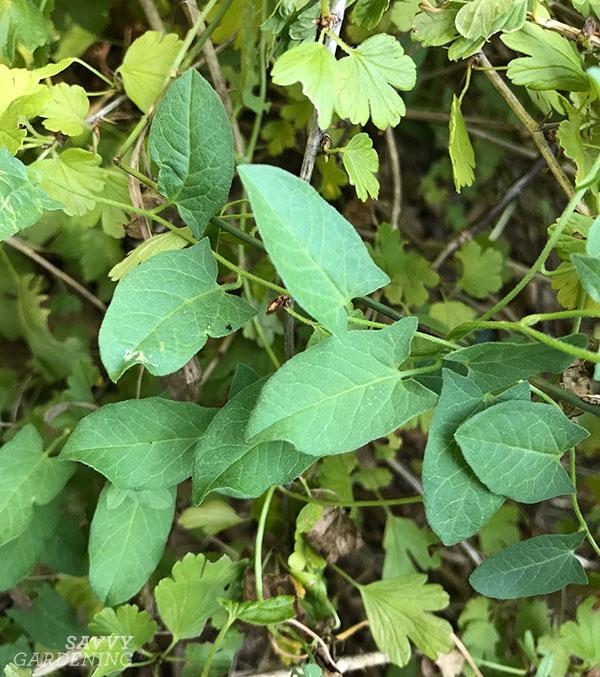 bindweed in the garden