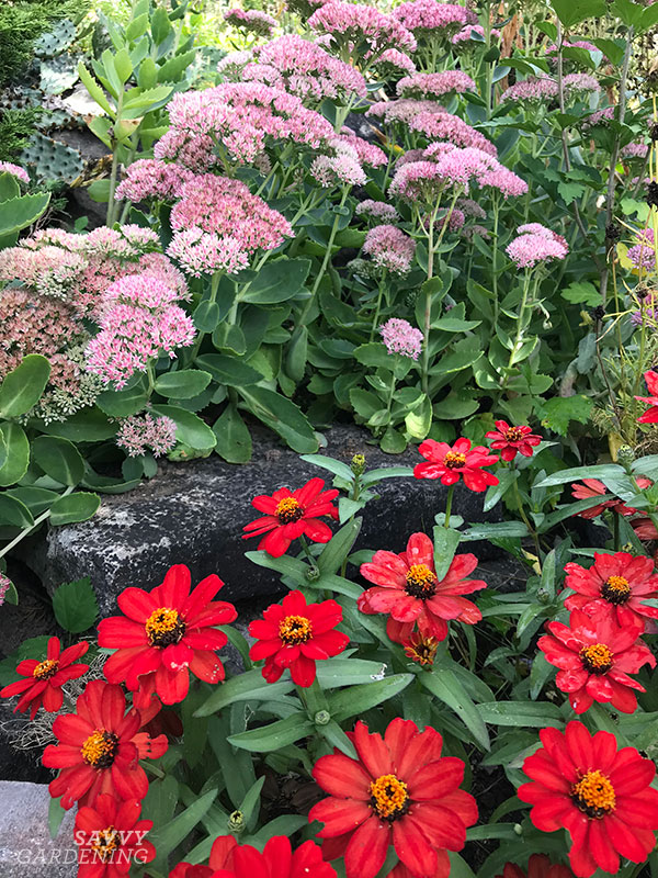 sedums and zinnias