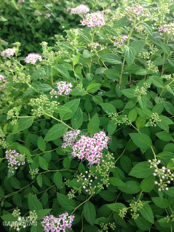 Spirea is a spring-flowering easy-care shrub.