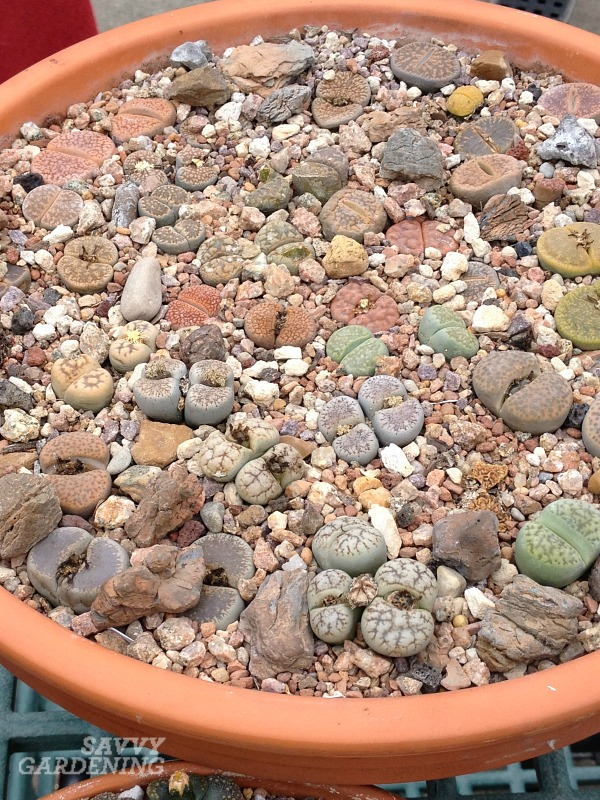 The best soil for growing living stones plants