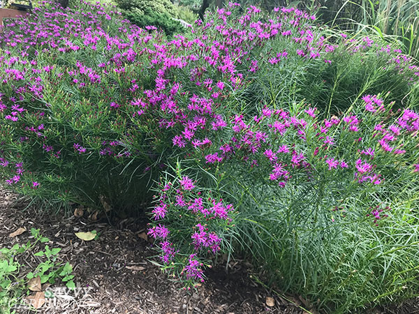 Vernonia lettermanii 'Iron Butterfly'