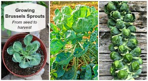 growing Brussels sprouts from seed to harvest