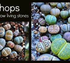 Collecting and caring for living stones