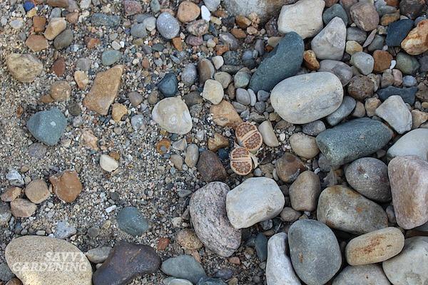 How to grow living stones plants