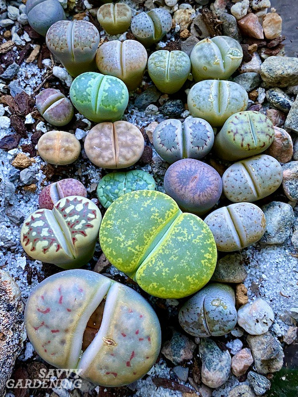 Lithops come in an amazing diversity of colors and leaf patterns. Learn how to grow them with these pro-tips.