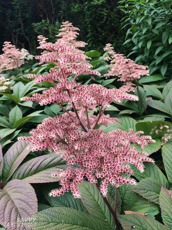 If you're looking for tall perennials that will do well in a wetter area of the garden, Rodgersia is a great choice.