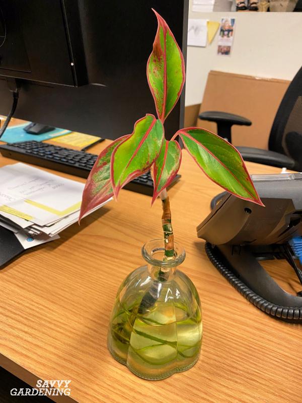 Grow houseplants like Chinese evergreen in water
