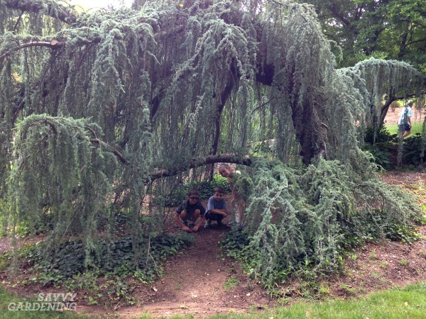 Weeping trees for the garden