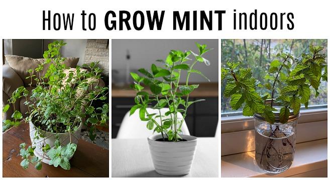 Growing mint plants indoors
