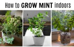 Growing mint plants indoors