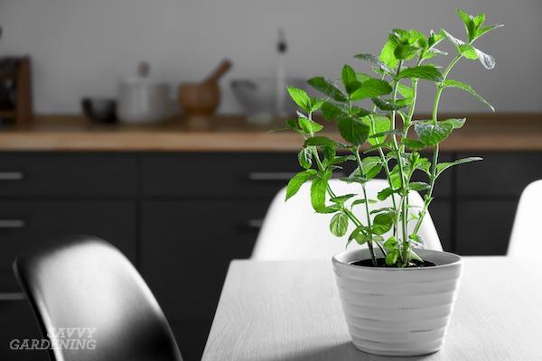 The best mints for indoor growing