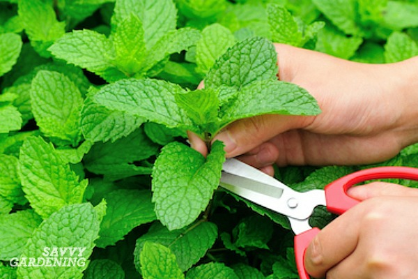 How to harvest potted mint