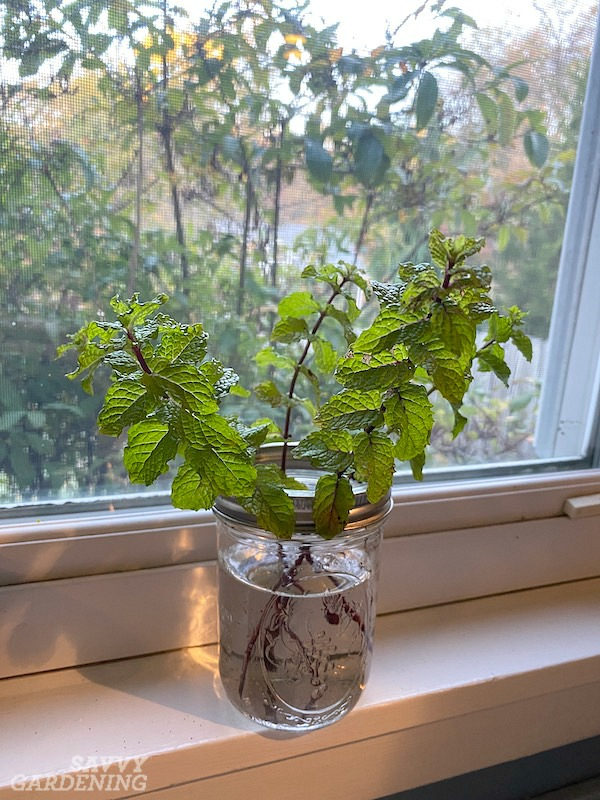 How to grow mint indoors in water