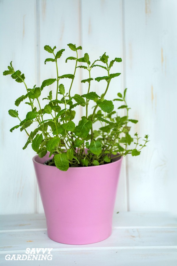 Growing mint indoors is easy with these three techniques