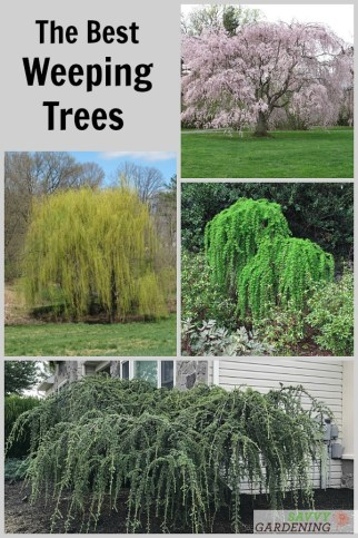 14 of the Best Weeping Trees for Yards and Gardens