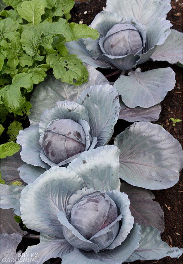 Brassica oleracea in a garden
