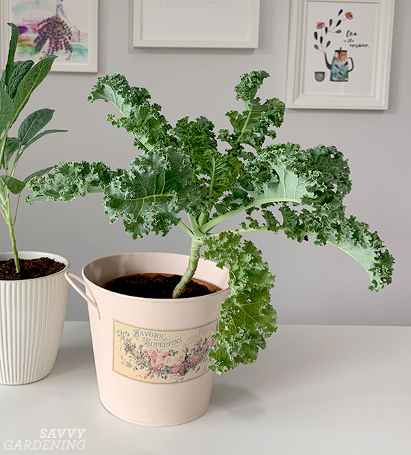 Curly kale grown as a houseplant