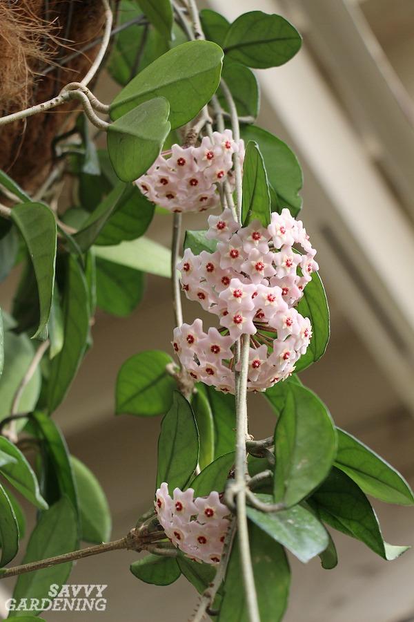 Fragrant succulent plants