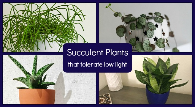 The best succulents for low light