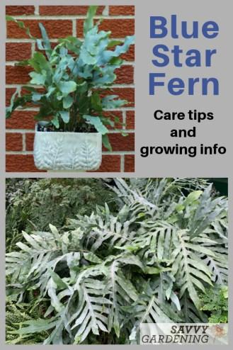 How to grow blue star ferns Phlebodium aureum