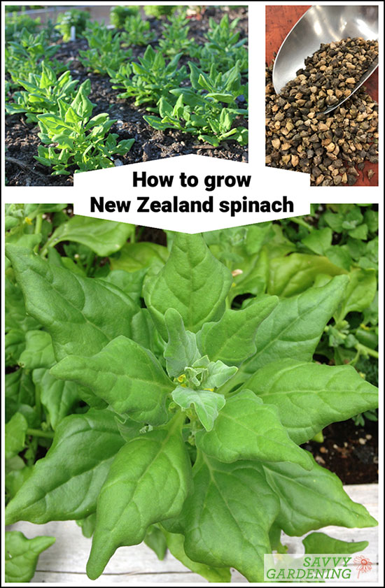 How to grow New Zealand spinach