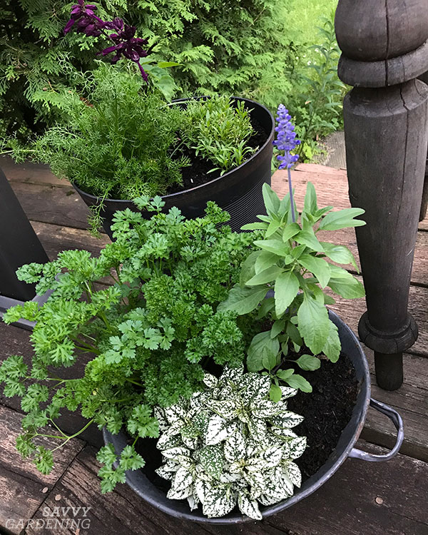 parsley in an ornamental container