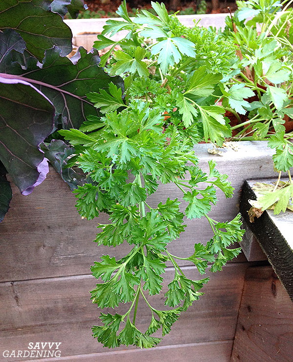 parsley growing in a raised bed