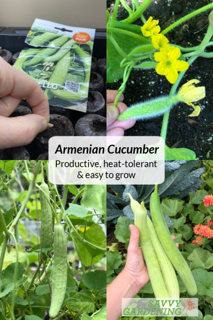 Learn how to grow Armenian Cucumber melons