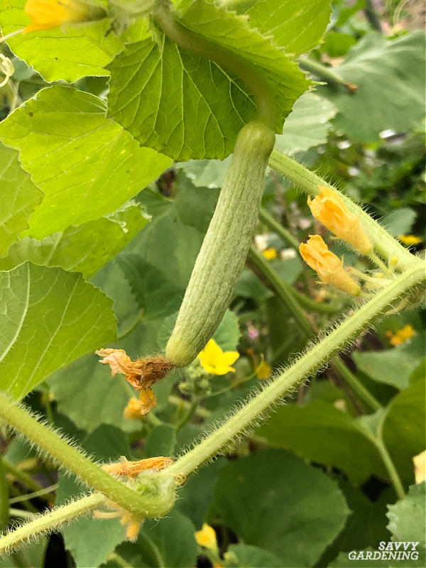 cucumber growing vertically