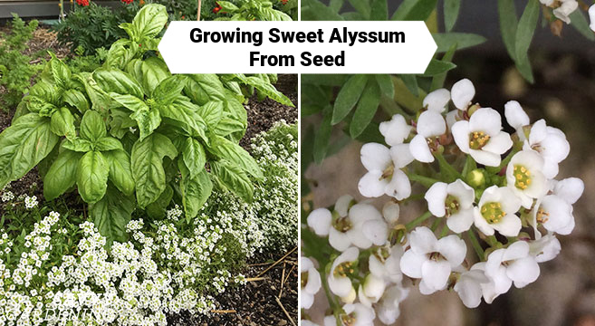Growing Sweet Alyssum From Seed Indoors or in Your Garden