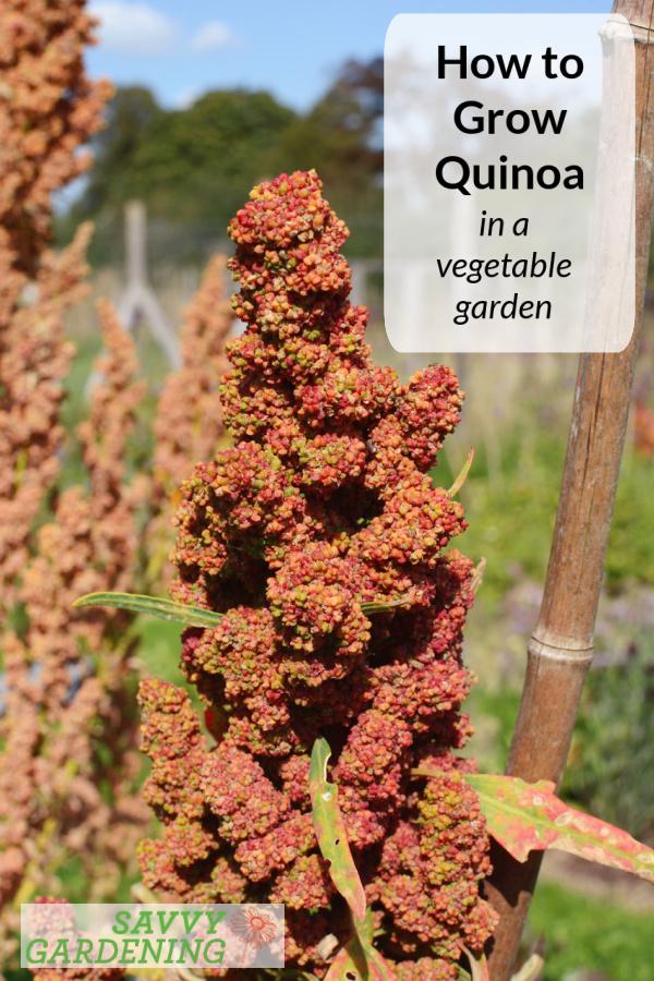 How to grow quinoa in a vegetable garden