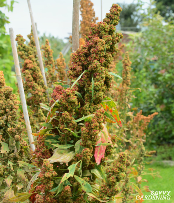 when to harvest quinoa seedheads
