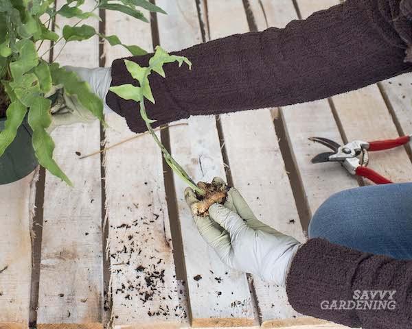 Separating fern rhizomes