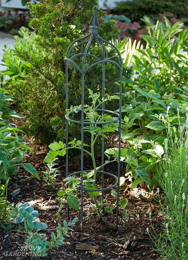 A tomato plant and obelisk in a perennial garden