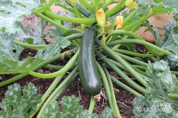 How to grow better zucchini with companion planting