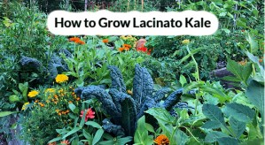 how to grow lacinato kale