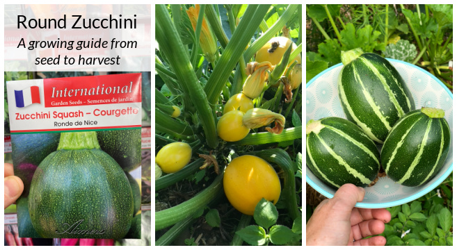 Round zucchini a growing guide