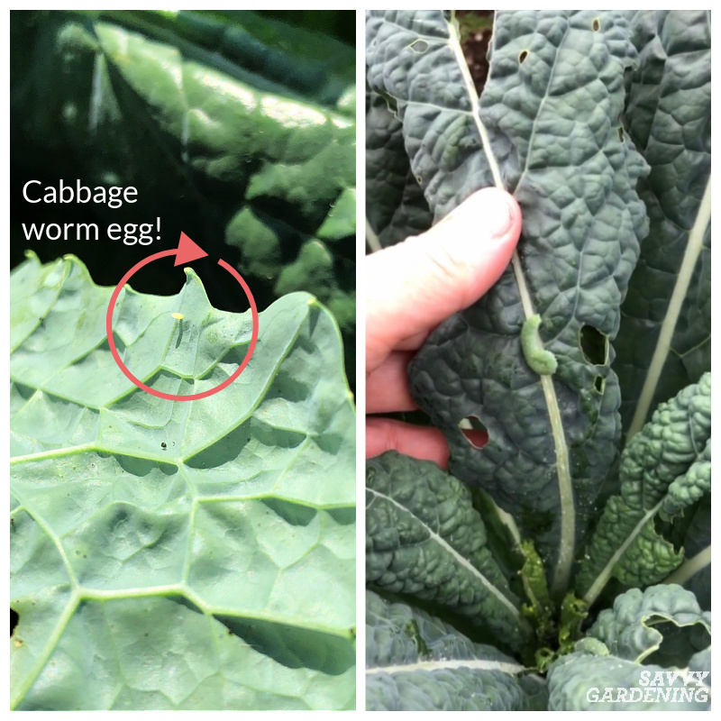 cabbage worm on kale
