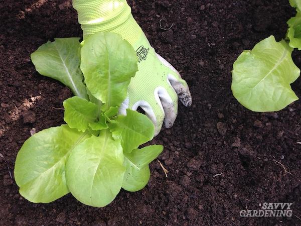 How to plant romaine lettuce