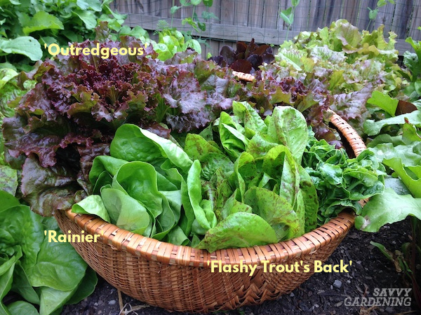 Types of romaine lettuce to grow in the home garden