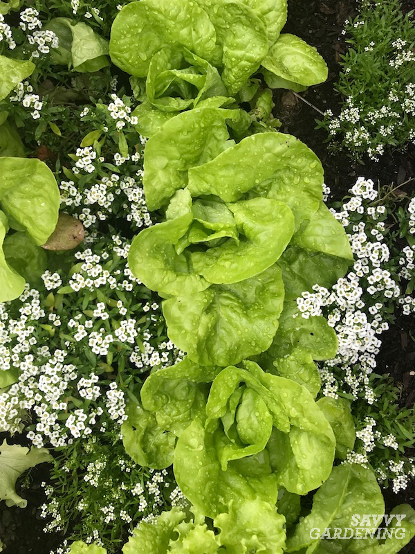 Companion plants for lettuce
