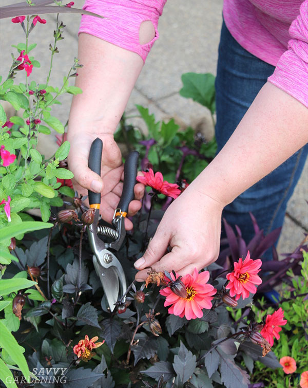 Tips for growing dahlias in pots