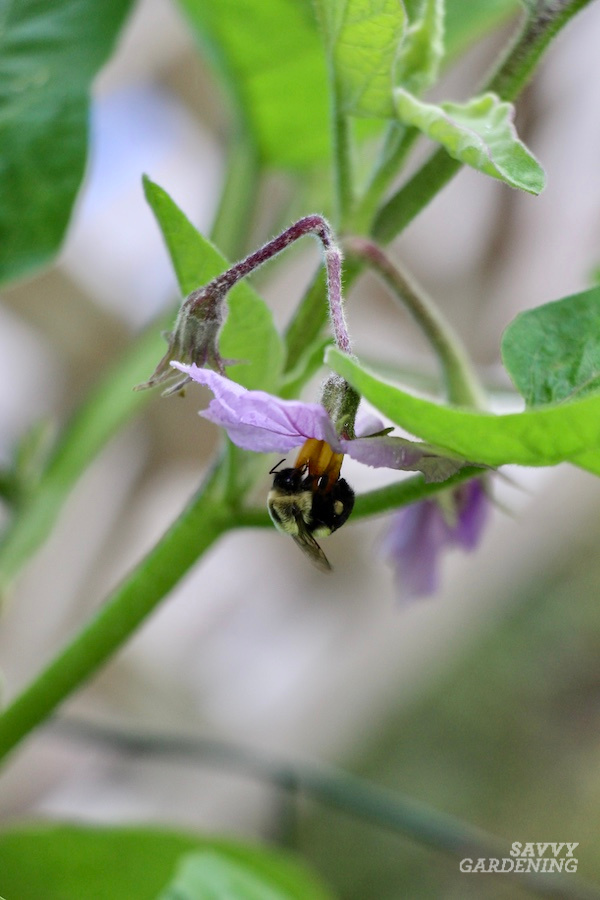 Pepper, tomato, and eggplant pollination is improved by the presence of bumble bees.