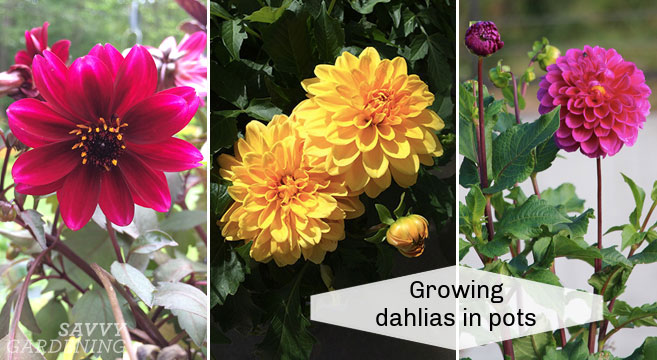 dahlia sprout