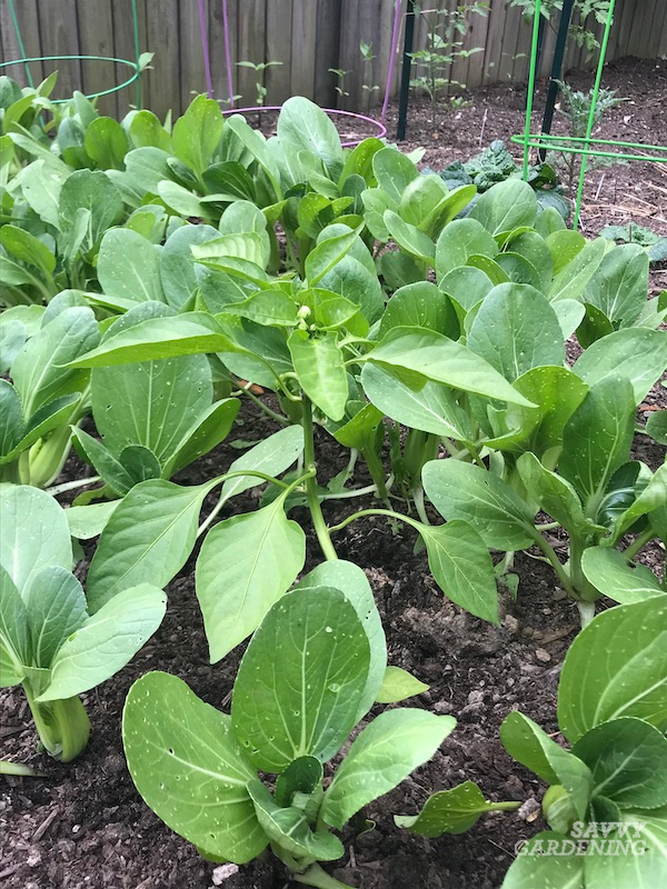 Pak choi is a trap crop companion plant for peppers