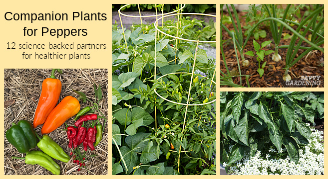 Companion planting strategies for pepper plants