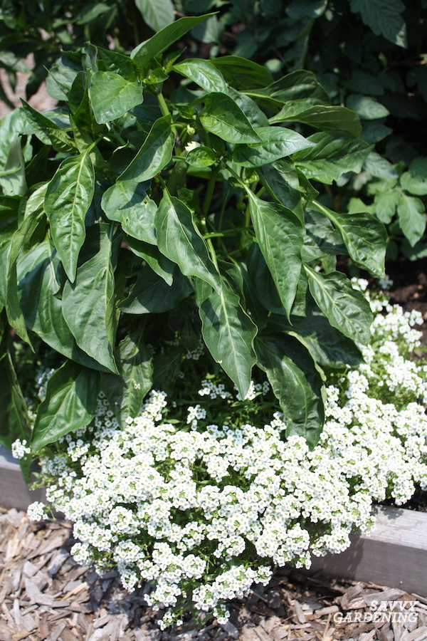 The best companion plants for peppers include sweet alyssum.